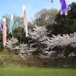 横田公園 桜開花🌸
